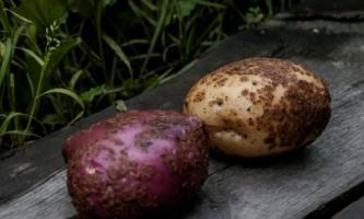 Як виростити картоплю без парші?