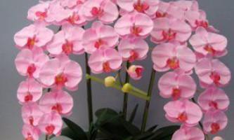 Як виростити прекрасні квіти орхідеї у себе вдома