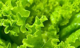 Як виростити салат в домашніх умовах