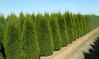 Як висаджувати тую і здійснювати догляд за рослиною?