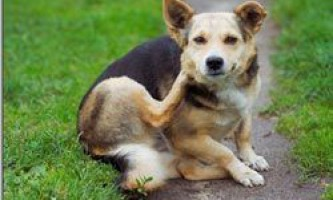 Як вивести бліх у собаки і позбавити вихованця від мук?