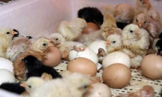 Як вивести курчат і наскільки це складно