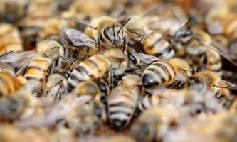 Як захистити вулик бджіл від мурах?