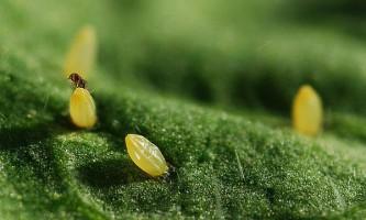Як жук-зернівка навчився обманювати осу-наїзника