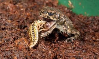 Як жужелиці полюють на жаб