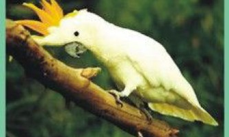 Какадугоффіна / cacatua goffiniana