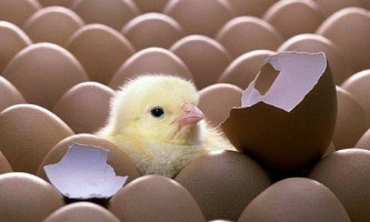 Яка повинна бути температура в інкубаторі для курячих яєць