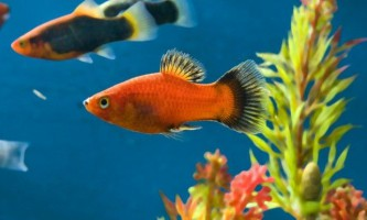 Яка рибка проживе довше всіх у акваріумі?