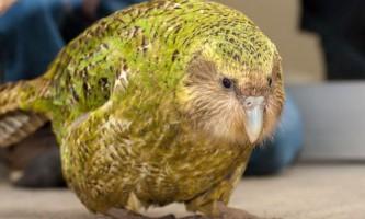 Какапо - птах-довгожитель
