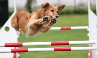 Які бувають спортивні види дресирування собак