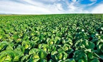 Які культури можна посадити після капусти на наступний рік