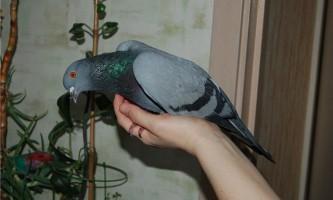 Які небезпечні для людини хвороби поширюють голуби?
