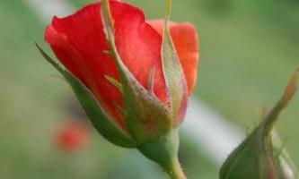 Які помилки при вирощуванні троянд садівники допускають найчастіше