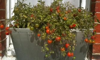 Які овочі можна виростити на підвіконні і балконі?