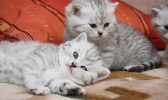 Які щеплення роблять кошенятам і коли робити щеплення кошенятам