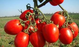 Які сорти томатів стійкі до фітофторозу, в теплиці