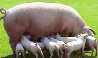 Які свині є м`ясними: знайомимося з найбільш продуктивними породами