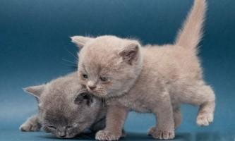 Які вітаміни давати кошеняті
