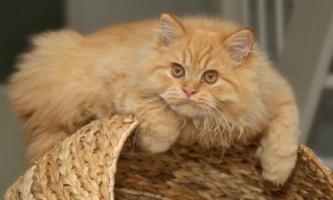 Які вітаміни потрібно давати кішкам від випадання шерсті, а також причини линьки