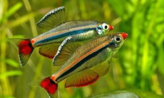 Яких рибок поселити в 20-літровому акваріумі