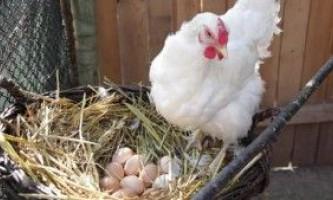 Яким чином кури несуть яйця: особливості яйценоски