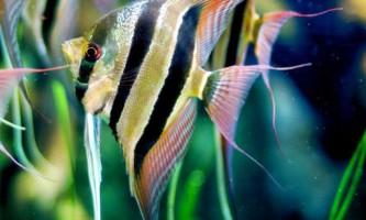 Якими бувають акваріумні скалярии