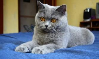 Який колір очей у британських кішок?