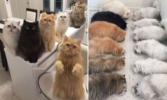 Як ви будете почуватися - жити з 12-ю перськими котами