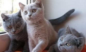 Яку кішку краще завести в квартирі