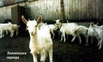 Яку козу краще вибрати?