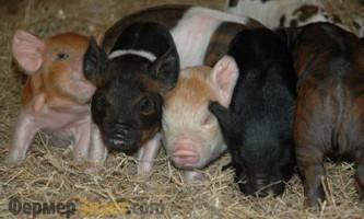 Яку породу свиней вибрати для розведення