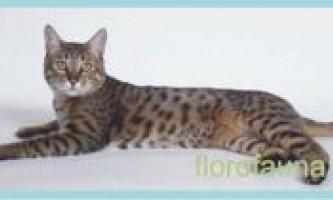 Каліфорнійскаясіяющая кішка