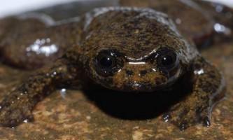 Калімантанская барбурула - жаба, яка не має легенів