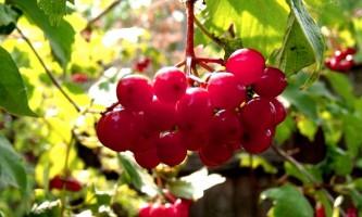 Калина: властивості, вирощування і догляд