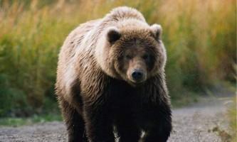 Камчатський ведмідь - найбільший серед клишоногих