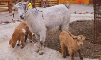 Камерунські кози