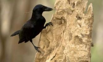 Камери показали, як ворон використовує інструменти при будівництві
