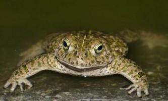Ропуха очеретяна - найгучніша серед жаб