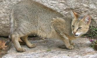 Очеретяний кіт - домашній вихованець або дика тварина?