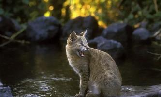 Очеретяний кіт (felis chaus) 12 фото