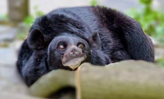 Канадська поліція виявила конопляну плантацію з ведмедями