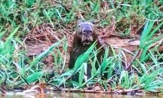 Капибара, що стала свідком полювання прославилася в інтернеті