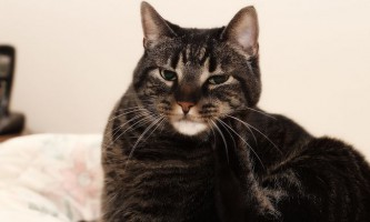 Краплі для кішок «чистотіл» від бліх: інструкція
