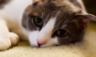 Краплі для кішок під час тічки