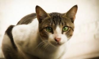 Краплі на холку від глистів для кішок