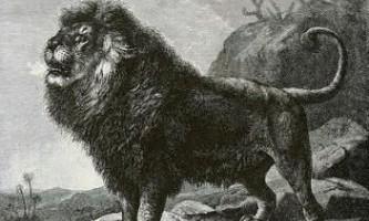 Капській лев