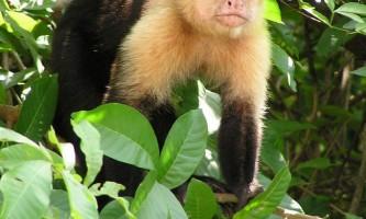 Капуцини - галасливі мавпи