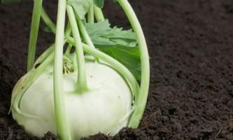 Капуста кольрабі: особливості вирощування