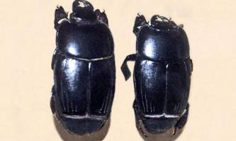 Карапузик - жук з непробивною бронею