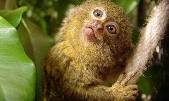 Карликова ігрунка - крихітний акробат